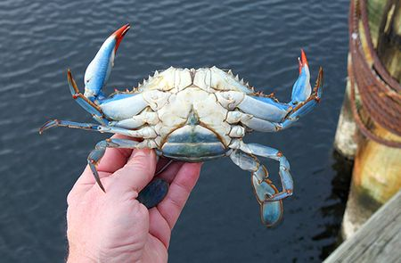 Animals-bluecrab-slide2-web
