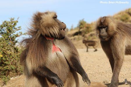 Monkey wolves